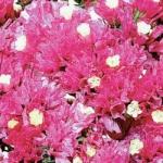 статица розовое сияние (сухоцвет)