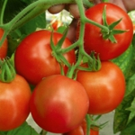 """томат """"ричи"""" f1"""