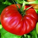 """томат """"ричиоло"""" f1"""