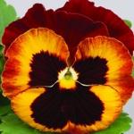 Виола Дует крупноцветковая (20 шт/упак)