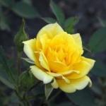 Роза бордюрная Желтая кукла (8 шт/упак)