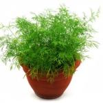 Укроп кустовой Салют (20 шт/упак) оптом