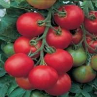 "томат ""толстой"" f1"